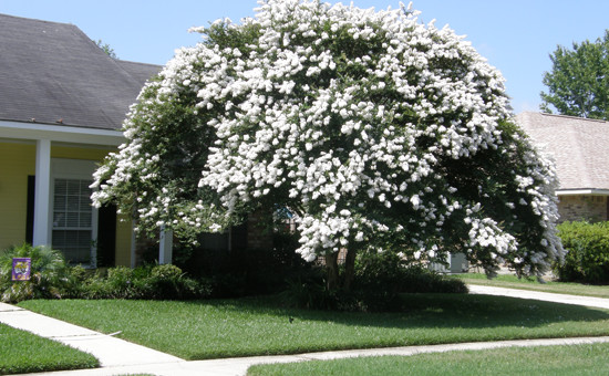 Crape Myrtle Trimming